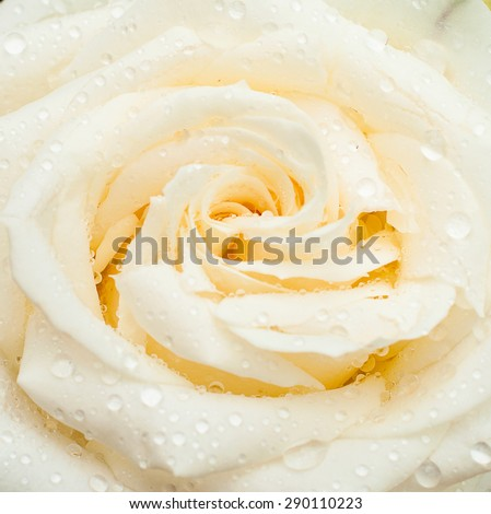 white rose with drops on the petals and buds after the rain - stock photo