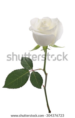 white rose with long stem and leaves isolated on white background  - stock photo