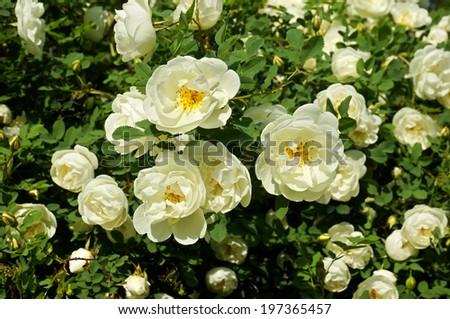 white roses plant in garden                       - stock photo