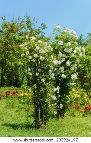 White Roses Rosebush In The Rose Garden - stock photo