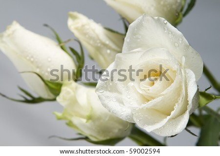 White roses with water drops. - stock photo