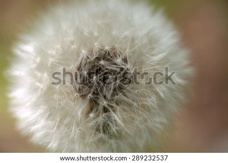 White round dandelion flower closeup on blur background, horizontal picture - stock photo