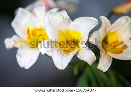 white royal lily - stock photo