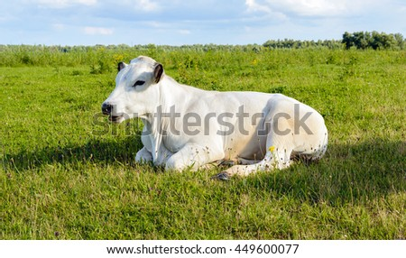 White ruminating cow lazily lying alone in the grass of a meadow in a Dutch polder. It's a sunny day in the summer season. - stock photo