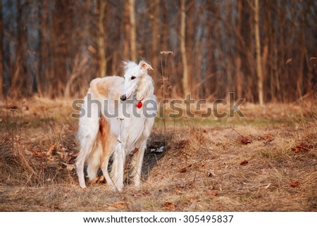 White Russian Wolfhound Dog, Borzoi, Russian Hunting, Sighthound, Spring Autumn Time, Outdoors Close Up Portrait. - stock photo