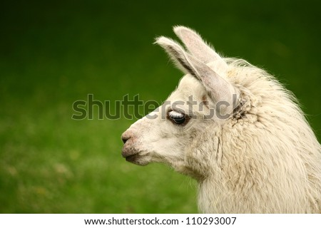 White, sad furry lama glama with long eyelashes on a fresh green summer grass. Close up portrait from zoo - stock photo