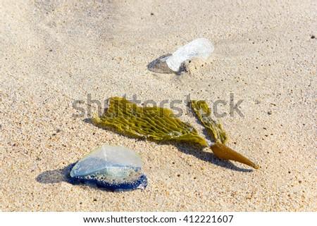 White Sails of Velella-velella stranded on ocean beach along with brown Kelp seaweed - stock photo