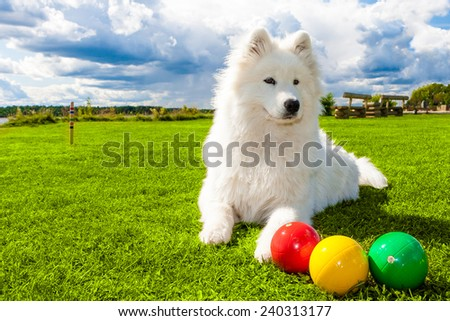 White Samoyed dog on croquet green lawn - stock photo