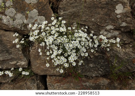 White Saxifrage flowers/ Saxifraga paniculata / Glacier mouse-ear chickweed flowers   growing on rocks in Swiss Alps - stock photo