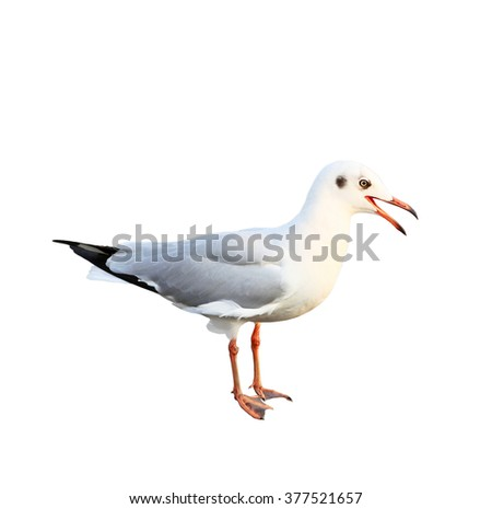 White seagull isolated on white background - stock photo