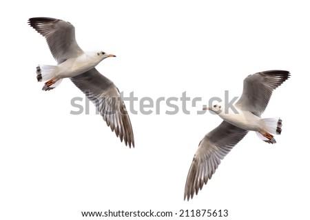White seagull soaring on white background - stock photo