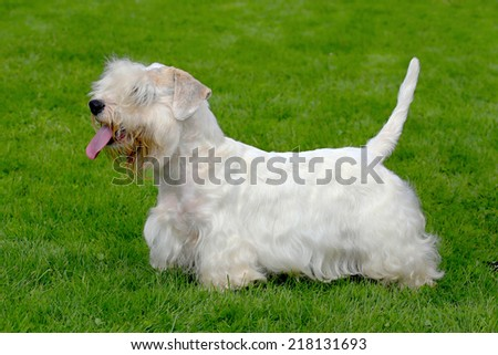 White Sealyham Terrier in the garden - stock photo