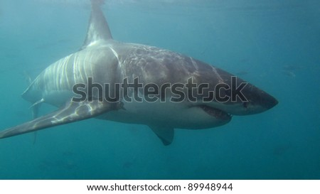 White Shark, Carcharodon carcharias. Dyer Island, South Africa. - stock photo