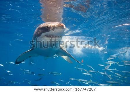 White shark near surface. - stock photo