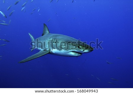 white shark swimming in blue water from Guadalupe - stock photo
