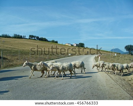 White sheep. A flock of sheep grazing on a mountain road in Italy. - stock photo