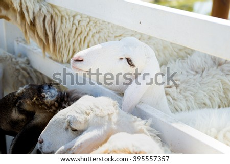 white sheep in a cage - stock photo