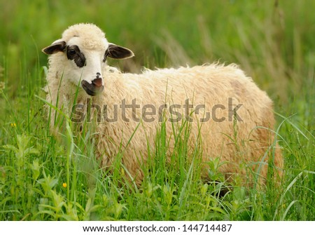 White sheep in grass on a farm - stock photo