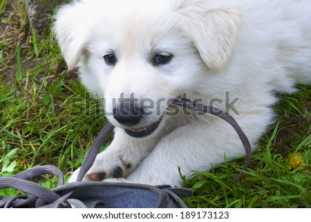 White Shepherd / Berger Blanc Suisse puppy chewing on a  shoe lace on a lawn - stock photo