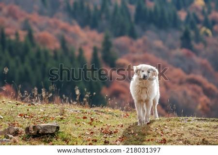 white shepherd dog close up - stock photo