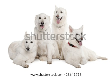 White Shepherd Dog (1 year old) in front of a white background - stock photo