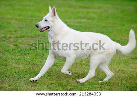 white Shepherd runs - stock photo