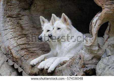 White Shepherd  Weisser Schweizer Schäferhund Berger Blanc Suisse - stock photo
