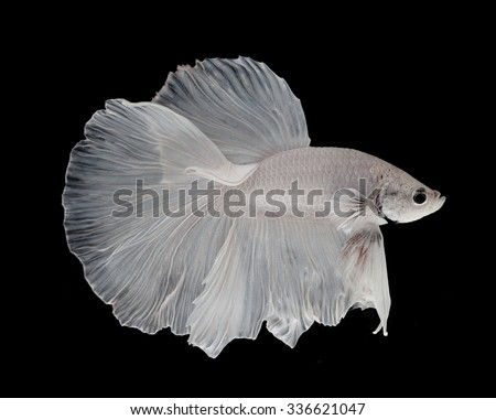 White siamese fighting fish, betta fish isolated on black background.  - stock photo