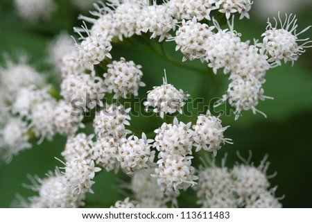 White Snakeroot Eupatorium rugosum flower in late summer - stock photo