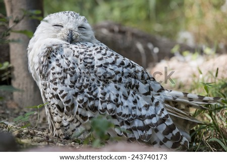 White snow owl close up portrait - stock photo