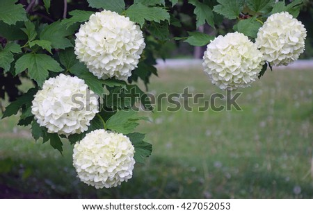 White Snowball Flowers Blooming Background - Beautiful white Chinese snowball flower blossoms on green spring background. - stock photo