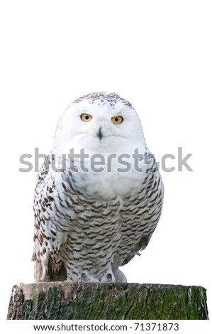 white snowy owl sitting on a stump on white background - stock photo