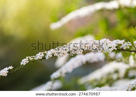 White spirea blooming in beautiful hedge. Close up of springtime white flowers - stock photo