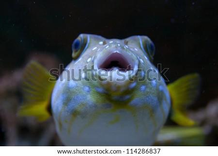White-Spotted puffer, Arothron Hispidus, aquarium fish - stock photo