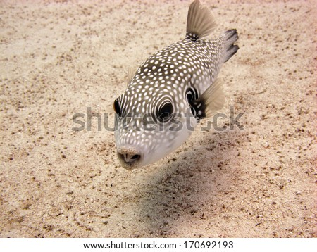 White spotted puffer on sand - stock photo