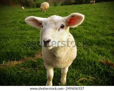 White Spring Lamb Stands in a Green Meadow - stock photo