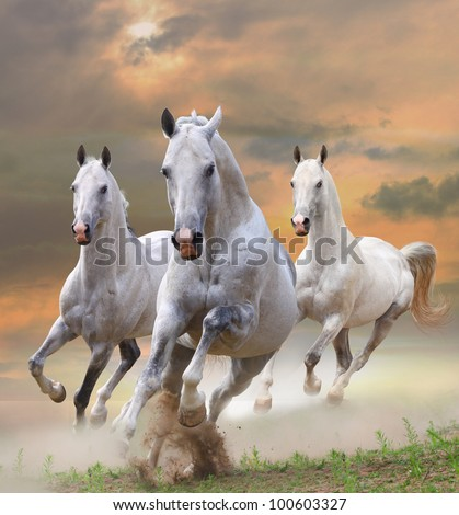 white stallions in dust in a sunset - stock photo