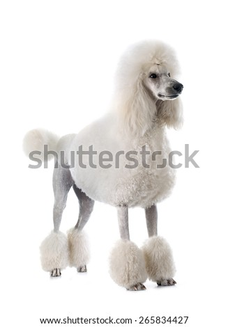 white Standard Poodle in front of white background - stock photo