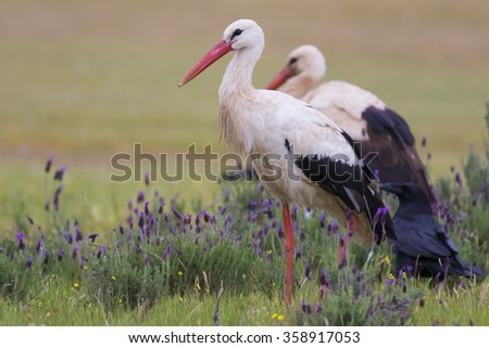 White stork Ciconia ciconia - stock photo