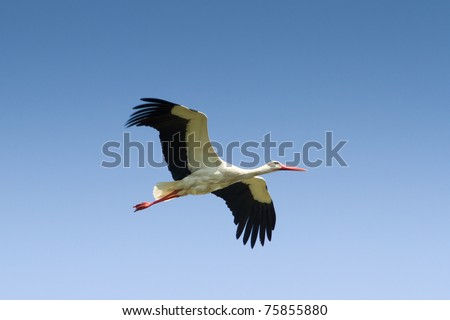 White Stork flying with blue sky / Ciconia ciconia - stock photo