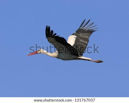 White stork inn flight, against blue sky - stock photo