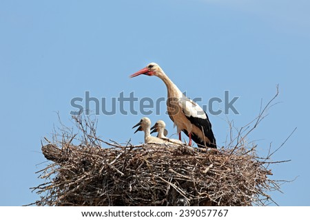 White stork with their young on the nest - stock photo