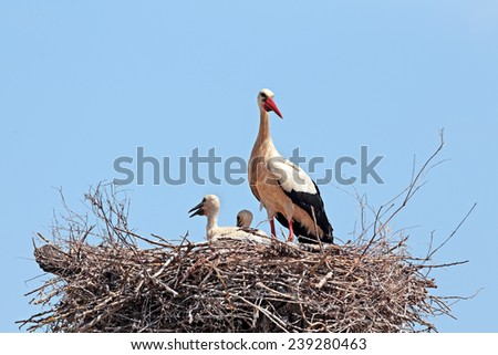White stork with  young baby stork on the nest - Ciconia ciconia - stock photo