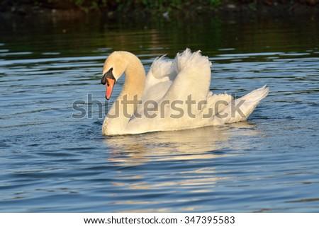 White swan at the lake (Cygnus olor) - stock photo