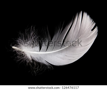 white swan feather isolated on black background - stock photo