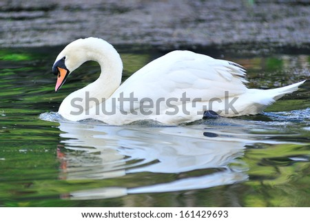 White-swan floating in lake, North of Thailand. - stock photo