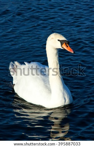 white swan floating on a clean blue water - stock photo