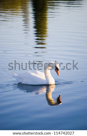 White swan floating on autumnal blue pond - stock photo