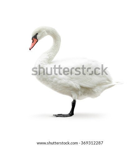 white swan isolated on white in high key - stock photo