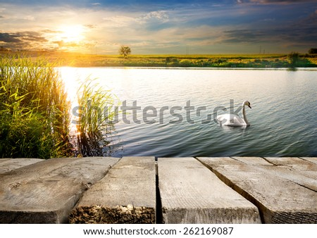 White swan on a river near wooden bridge - stock photo